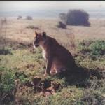 Lioness & cubs, Tanzania